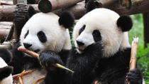 Pandas in Chengdu