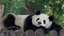 Private Tour of China's National Treasures: Giant Pandas and Terracotta Warriors in Xi'an, Xian, ...