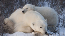 5-Night Churchill Tour and Polar Bear Adventure from Winnipeg, Canada, Multi-day Tours