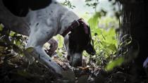 Private Tour: Truffle-Hunting Experience from Sorrento with Lunch, Sorrento, Private Tours