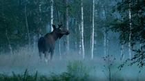 Moose Safari in Skinnskatteberg, Central Sweden, Safaris