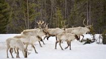 Reindeer Sleigh Ride from Luosto, Lapland, Nature & Wildlife