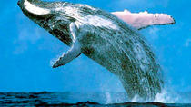 Samaná Bay Whale-Watching and Cayo Levantado Tour from Punta Cana, Punta Cana, Dolphin & ...