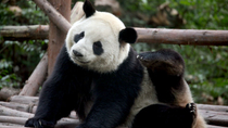 5-Day Small-Group China Tour: Chengdu and Shanghai, Chengdu, Multi-day Tours