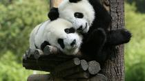One-Day Private Panda Tour of Chengdu, Chengdu, Private Tours
