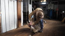 Sovereign Hill Heritage Sheep Farm Experience and Ballarat Gold Rush Day Tour from Melbourne, ...