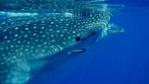 Whale Shark Tour from Cancun and Riviera Maya , Cancun, Dolphin & Whale Watching