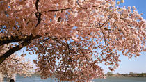 Washington DC Cherry Blossom Secrets Stroll, Washington DC, Half-day Tours