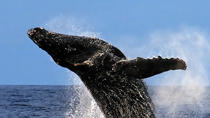 10AM Legendary Humpback Whale Watch Cruise in Kawaihae, Big Island of Hawaii, Day Cruises