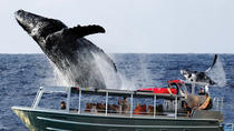 Whale Watching from Hilo: Dawn, Brunch or Sunset Cruise, Big Island of Hawaii