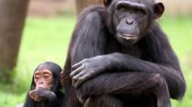 Full-Day Chimp Eden and Botanical Gardens tour from Hazyview, Kruger National Park, null