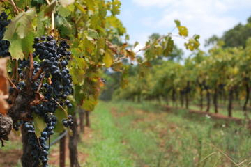 Niagara-on-the-Lake Wine Country Tour from Toronto