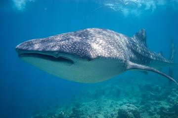 Mexican Whale Shark Snorkel Adventure
