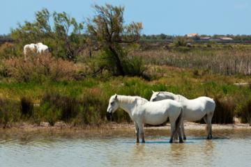 Private Provence Tour: la Camargue, Les-Saintes-Maries-de-la-Mer and Aigues-Mortes