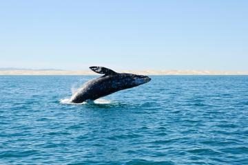 Gray Whale Watching from Seattle Including Whidbey Island