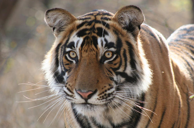 Private Day Trip to Ranthambhore Tiger Safari Tour from Jaipur