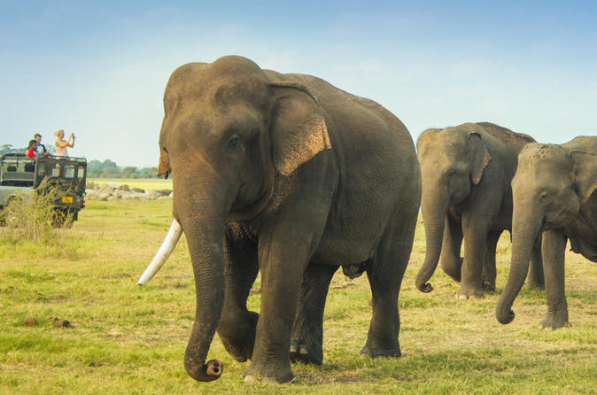 Private Jeep Safari Tour: Elephant Gathering Safari in Minneriya Park
