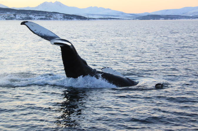Whale and Seabird Safari by Boat from Tromso to Whale Island