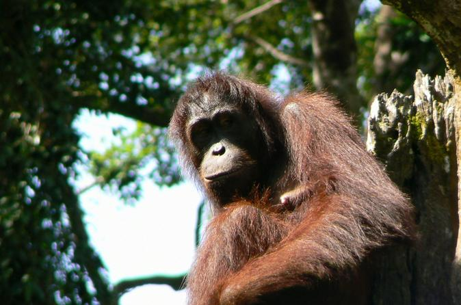 Sandakan-sepilok-orang-utan-rehabilitation-center-full-day-trip-from-in-sabah-144753