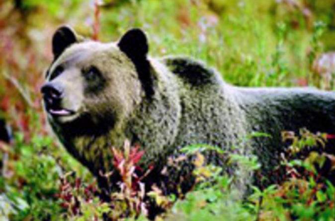 Discover-grizzly-bears-from-banff-in-banff-34120