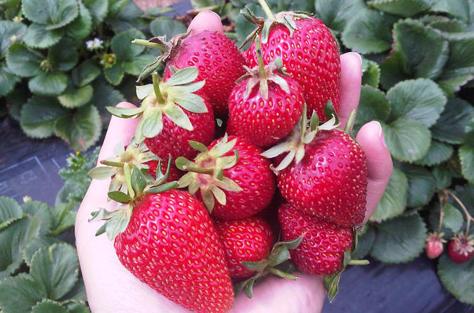 Mornington-peninsula-including-strawberry-farm-day-tour-from-melbourne-in-melbourne-143259