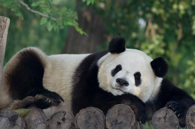 Private-tour-of-china-s-national-treasures-giant-pandas-and-in-xian-118570