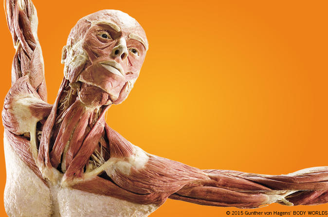 Body Worlds: Pulse the Exhibition at Discovery Times Square