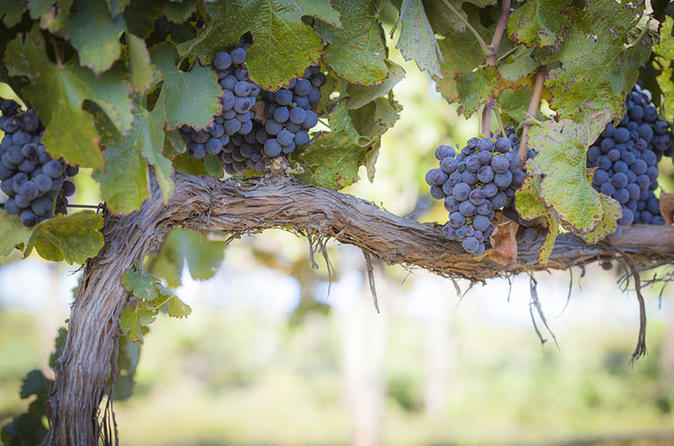 Help Fulchino Vineyards Bring In The Harvest