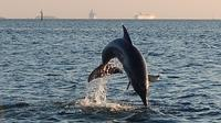 Dolphins jumping on tour with ships leaving *
