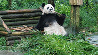 Giant Panda and Leshan Buddha Day Trip from Chengdu