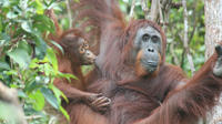 Full-Day Orangutan and Proboscis Monkey Tour from Sandakan or Kota Kinabalu