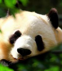 Beijing Private Tour to Beijing Panda House and Mutianyu Great Wall