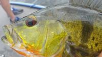 4-hour Miami Peacock Bass Fishing Trip