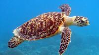 Turtle Swimming Trip*