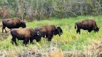 Mountain Buffalo Half-Day Tour from Yellowknife