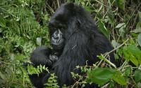 Gorilla Trek Experience from Kigali