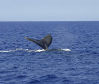 Whale Watch Cruise by Zodiac from Kauai