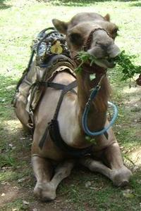Outback Camel Adventure Tour from Ocho Rios