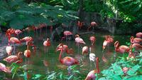 Caribbean flamingos*