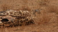 Private 2-Day Pilanesberg Safari with Chalet from Johannesburg