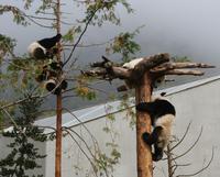 Wolong Panda Base Volunteering Program with Photo-taking with Panda Option