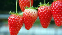 Day Trip to the Odawara Castle Park Including Pirate Ship Cruise and Visit to Strawberry Farm