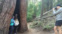 Giant Sequoias Yosemite*