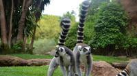 Lemur*