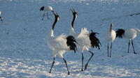 Japanese Red-Crowned Crane Observation Tour in Toro