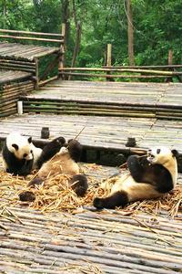 Private Chengdu Experience: Giant Pandas and the Sanxingdui Museum