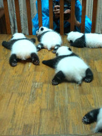 Private Half-Day Panda Base Trip from Chengdu