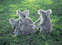 Lone Pine Koala Sanctuary*