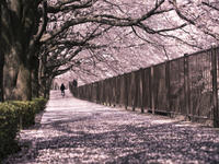 Cherry Blossom Viewing and Tokyo Tower Tour