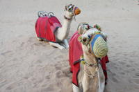 4x4 Dubai Desert Safari With Dune Bashing, Sandboarding, Camel Riding And BBQ Dinner